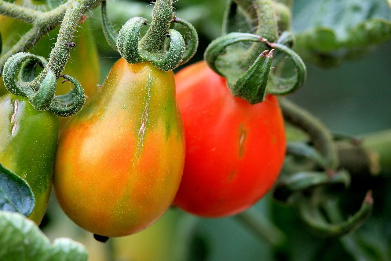 Comment planter correctement les tomates pour obtenir des plantes de 1 à 2 mètres …
