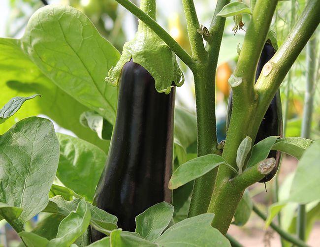 Comment cultiver des aubergines dans un potager