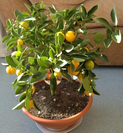 Choisissez les plus gros pépins, nettoyez-les et enfoncez leurs enveloppes… Voici comment faire pousser un citronnier dans une tasse !