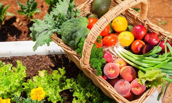 Le jardinage écologique: planter et cultiver le brocoli