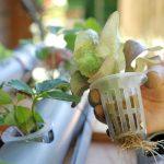 Comment faire un jardin hydroponique dans un pot ?