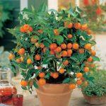 Vous ne devez pas acheter des tangerines encore une fois. Plantez-les dans un pot de fleur, et vous aurez toujours des centaines d'elles!