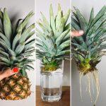 Comment cultiver et pousser des ananas facilement!