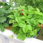 Comment faire pousser des fraises savoureuses