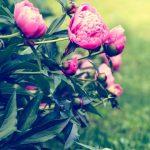 5 conseils pour faire pousser de belles pivoines dans votre jardin